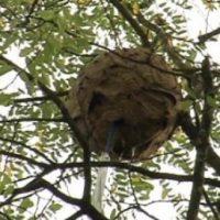 Un nido avispa asiática. Imagen de archivo: EiTB
