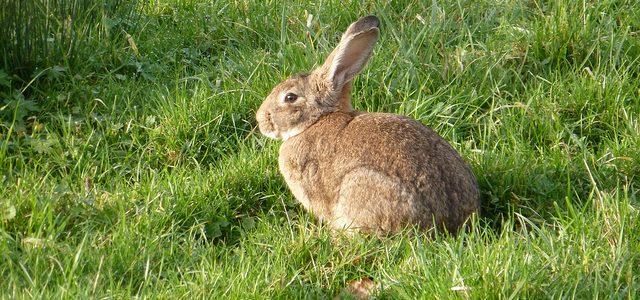 Exigen medidas para reducir los daños por los conejos en la Ribera navarra