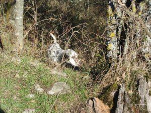 Una cachorra de muestra. Foto: E.L.