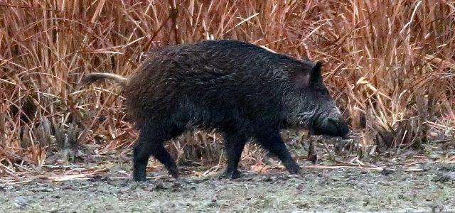 La caza del jabalí en batida comenzará el próximo 15 de agosto en Navarra