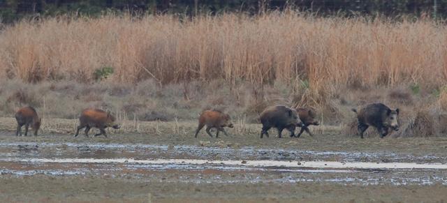 Seis meses más para cazar jabalíes en Salburua