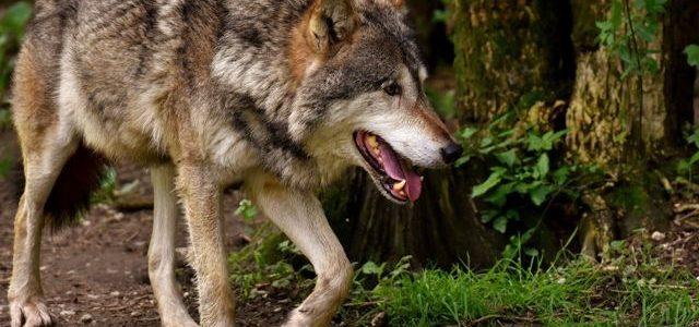 """A vueltas con el """"único"""" ejemplar de lobo en Álava"""