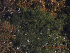 Pasa de palomas en Etxalar. Foto: Joxe Zubieta