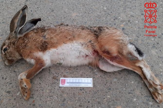 Investigados dos furtivos por cazar liebres con galgos cerca del Canal de Lodosa