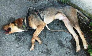 Perro deshidratado en Oronoz (Navarra). Foto: Policía Foral