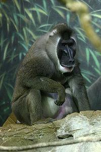 Mandril (simio catarrino)