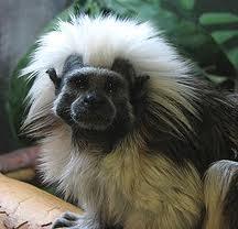 Mono tamarino (platirrino)