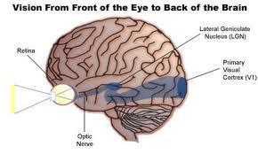 La imagen representa la vía que sigue la información visual hasta alcanzar la corteza visual primaria (área azul más intensa)