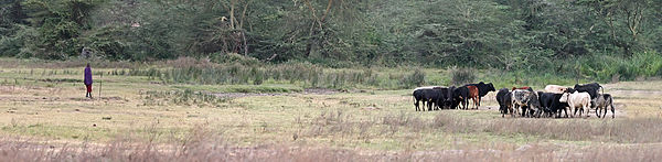 Los masai han desarrollado la capacidad fisiológica para digerir leche, en lo que se considera un ejemplo de adaptación evolutiva reciente ligada a un elemento cultural como es la cría de ganado