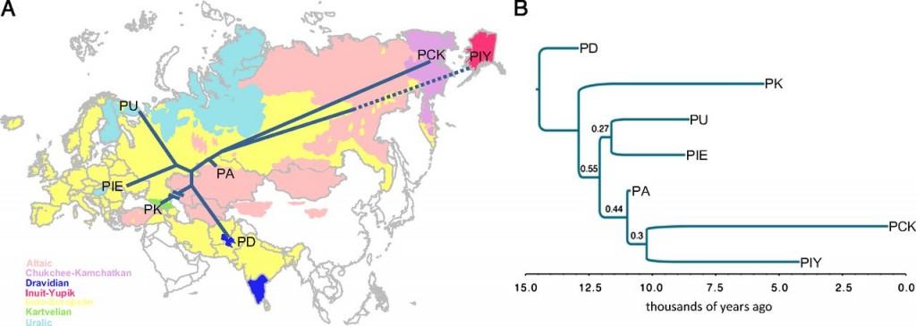 Arbol filogenético sin raíz (A) y con raíz (B). En este segundo se incluyen las fechas estimadas del origen de la superfamilia y de las familias. PD: proto-dravínica; PK: protokartveliana; PU: protourálica; PIE: protoindoeuropea; PA: protoaltaica; PCK: proto chucoto-camchatca; PIY: protoinuit-ypik
