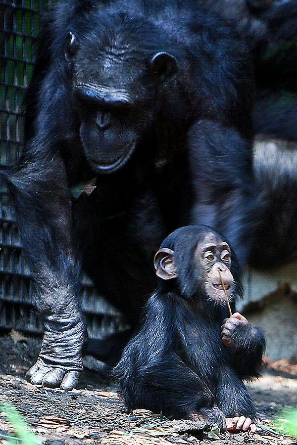 Chimpancés (foto: Wikipedia)