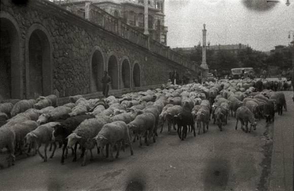 Ovejas transitando la calle Iztueta. Publicado por Mariona Tella