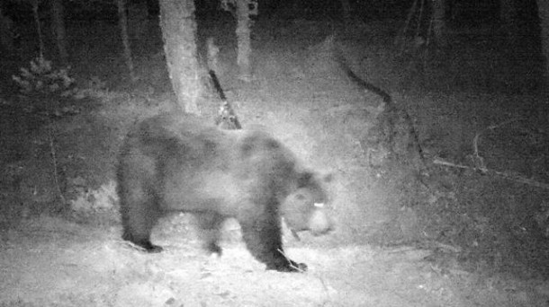 Un oso pardo. Imagen de archivo: Gobierno de Navarra.