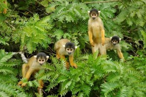 264148-Squirrel-monkeys-on-banana-alert-0