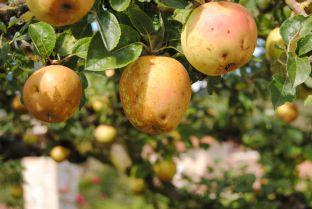 La manzana pera de Araba entra en el #ArcadelGusto de Slow Food Internacional