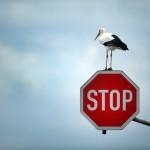 White Stork on stop sign