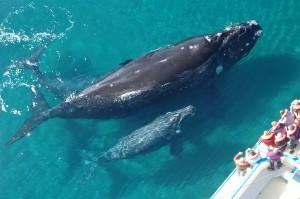 Ballena con ballenatos__©Gentileza Subsecretaria de Turismo de Chubut) ok