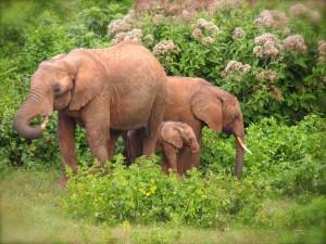 Aberdare-Elefantes