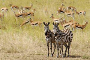 Cebras - Masai Mara