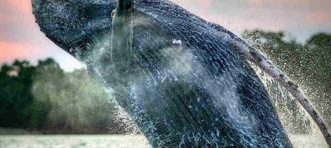 PANAMÁ: Avistamiento ballenas