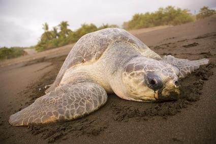 Costa Rica y su Refugio Nacional de Vida Silvestre Ostional