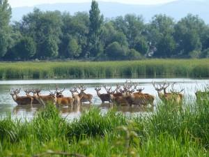 Los ciervos comiendo en Salburua. Foto: Zuria Alonso.